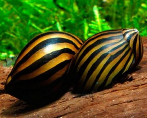 zebra-nerite-snails